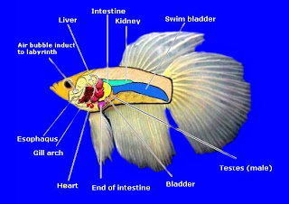 betta_anatomy2